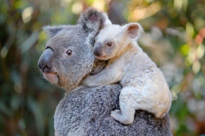 Одно из немногих млекопитающих, которые имеют папиллярный узор на подушечках пальцев, отпечатки коалы и человека весьма сложно различить даже с помощью мощного электронного микроскопа.