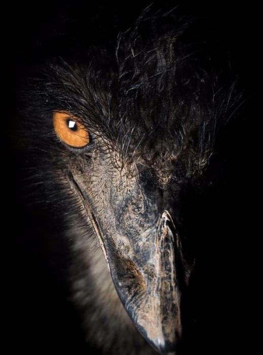 Весьма забавно, но мужские особи этих крупных бегающих птиц называются петухами, а женские – курицами.