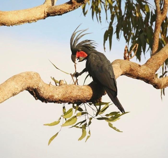 Самцы этих больших попугаев в период гнездовья стучат палкой по полому бревну, предупреждая других птиц о том, что данная территория занята.
