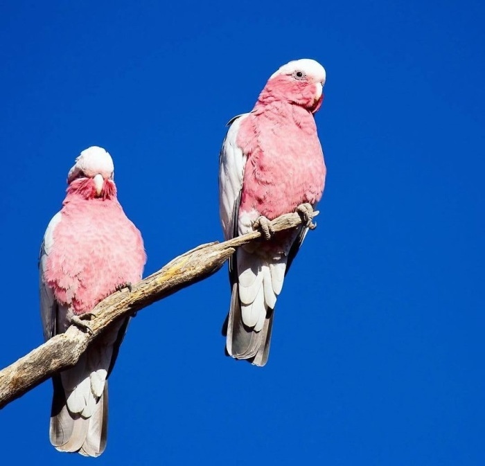 Эти птицы с изысканной окраской – настоящие воздушные акробаты, которые совершают отчаянные пикирующие полеты, ведь спасти от опасности их может только скорость.