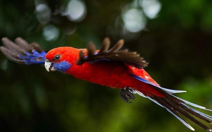 Темно-карминовые птицы с синими щеками и хвостом обладают спокойным нравом и доверчивы к человеку.