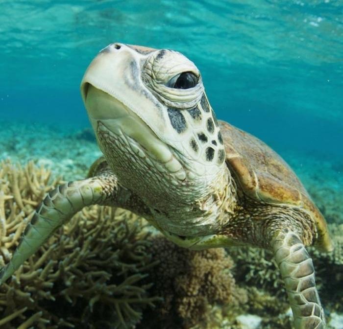 Конечности морских черепах преобразовались в ласты и не могут прятаться под панцирь, как и большая голова.