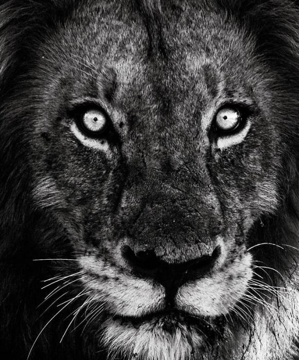 Величественные и грозные львы - самые ленивые хищники в Африке: единственные две вещи, которые могут заставить сытого зверя сдвинуться с места – палящее солнце и опасность.