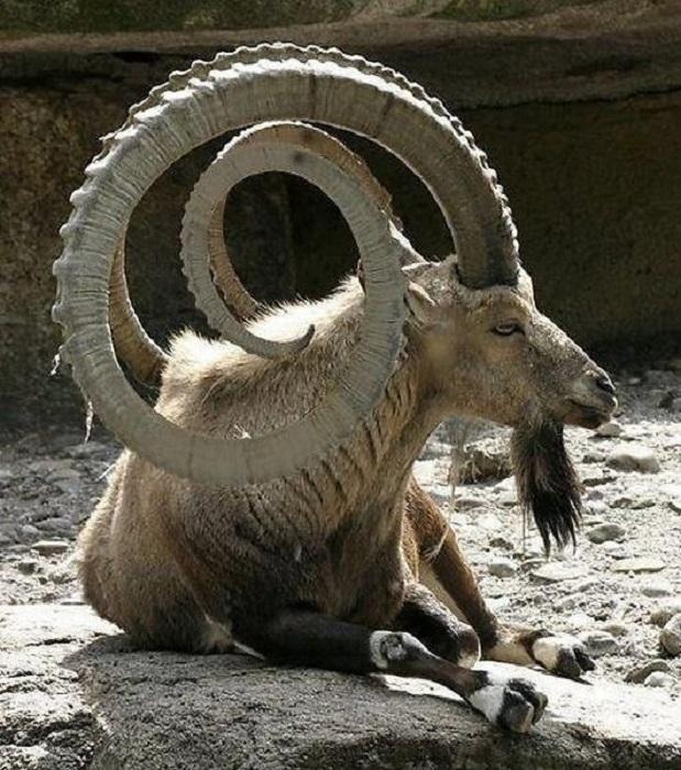 Отличительной чертой горных козлов является огромные загнутые рога, с поперечными буграми на поверхности, достигающие в длину 1 метра.
