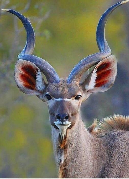Африканский вид антилоп из подсемейства быков с крупными завинченными рогами, достигающие величины до 1 метра.