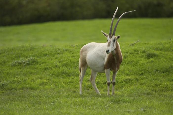 Из-за чрезмерной охоты на это красивое, изящное и грациозное животное привело к полному исчезновению вида в естественных условиях обитания, а уцелевшие ориксы содержатся в частных коллекциях.
