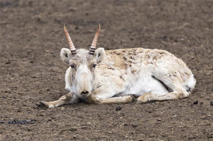 Характерной особенностью всех представителей рода является мягкий подвижный нос сайгака, чем-то напоминающий короткий нос — хоботок.