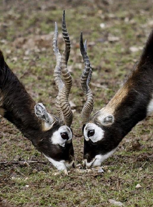 Длинные, тонкие рога сасси, обладателями которых являются только самцы, достигают в длину 75 сантиметров и вьются по спирали.