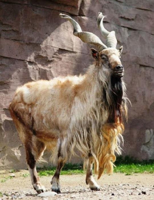 Парнокопытное животное с длинной бородой свое название получил за счет плоских рогов, которые закручены в виде спирали.
