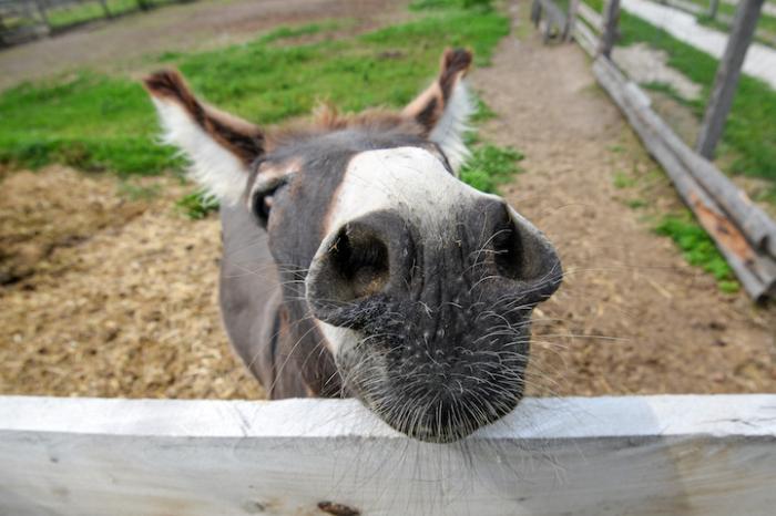 Крупный план носа осла.