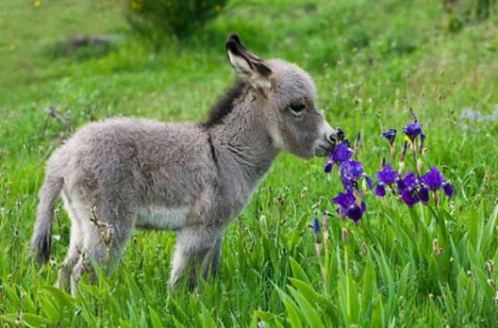 Жеребёнок наслаждается ароматом цветов.