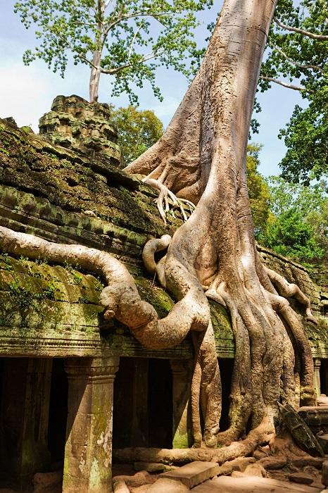 Часть джунглей – храм Та Пром.