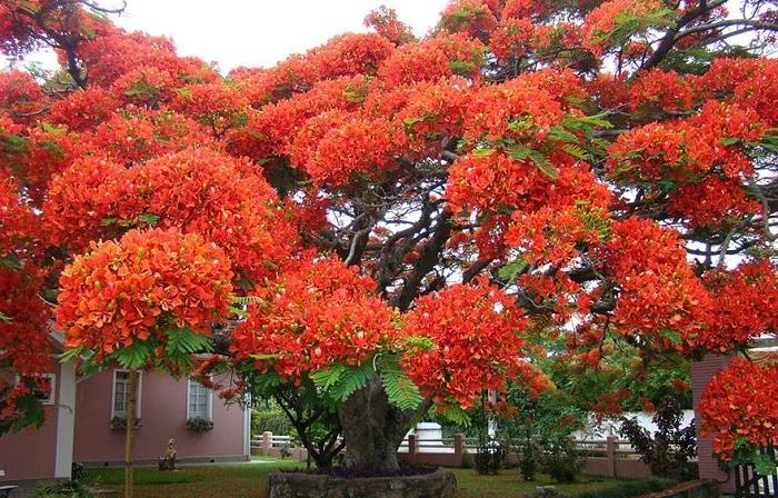 Делоникс королевский – яркое дерево родом с острова Мадагаскар.