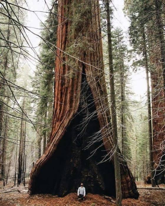 Гигантская секвойя со следами лесного пожара на стволе находится под охраной в роще Редвуд Национального парка с одноименным названием.
