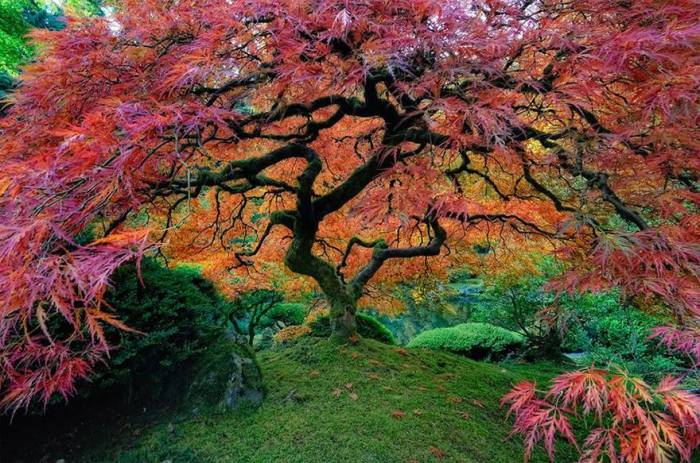 Осень раскрашивает листья этих великолепных деревьев в различные оттенки багряного, превращая деревья в изумительных сказочных красавцев.