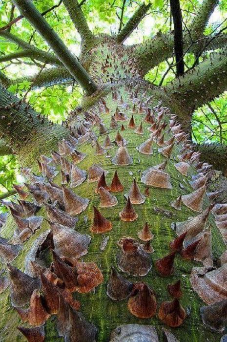 Необычное дерево имеет несколько других названий, но именно «дерево-ежик» очень точно подходит к описанию.
