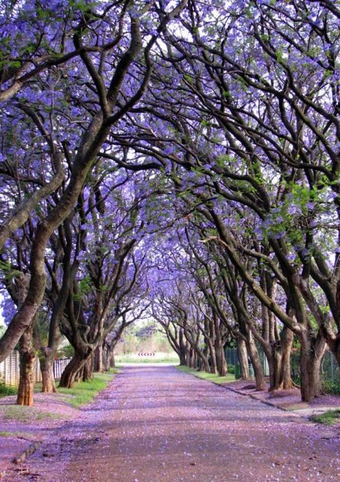Изящные деревья известны не только из-за своей драгоценной древесины, но и великолепных светло-голубых цветков, появляющихся на ветвях весной.