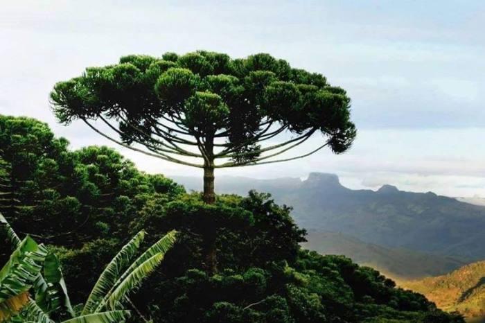 Гигантское хвойное вечнозеленое дерево, растущее в Чили, называют «обезьяньей головоломкой» из-за иголок, которые не позволяют взбираться на ствол.