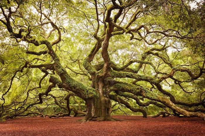 20-метровый дуб, возраст которого составляет около 1500 лет, растет на острове Джонс, а свое название получил благодаря собственникам земли по фамилии Энджел (Angel).
