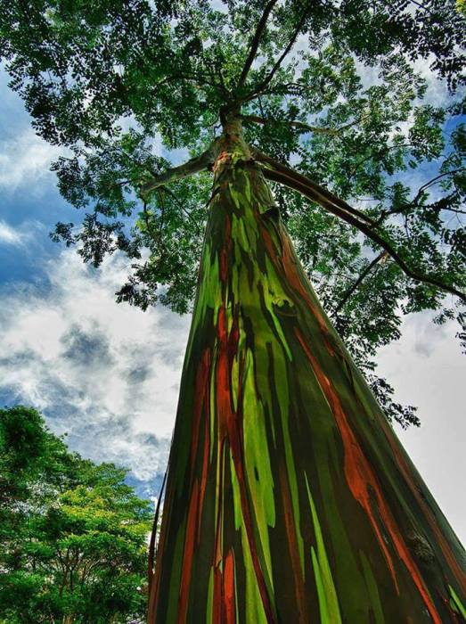 Уникальные деревья с необычайно яркими и пестрыми стволами могут расти только в местах с влажным тропическим климатом.
