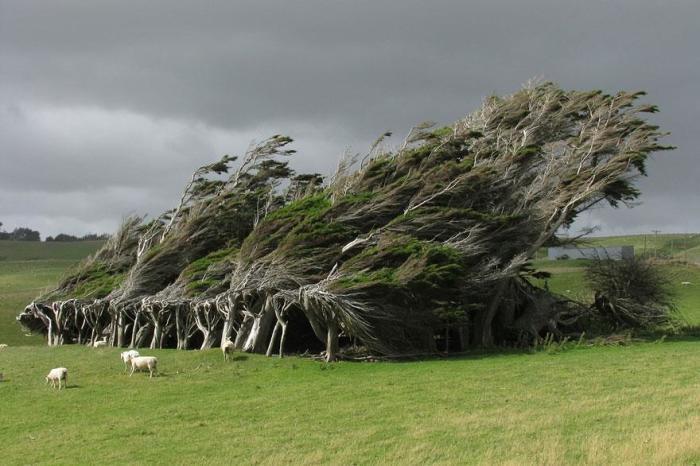 Из-за очень сильных постоянных ветров, несущихся с океана, деревьям со временем принимают такие необычные изогнутые формы.