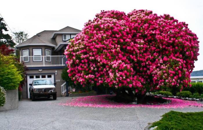 Великолепному «розовому дереву»  из маленького канадского городка уже более 125 лет, ему даже дали собственное имя – Синтия.