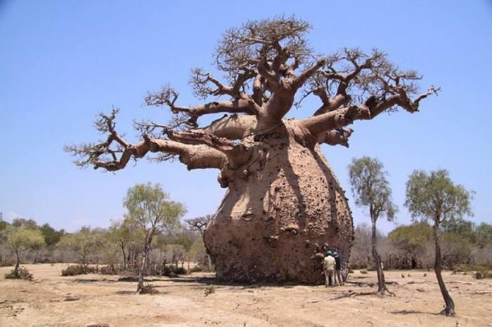 Чудо-дерево – удивительный житель жарких африканских саванн, который умеет накапливать влагу в своем толстом стволе.