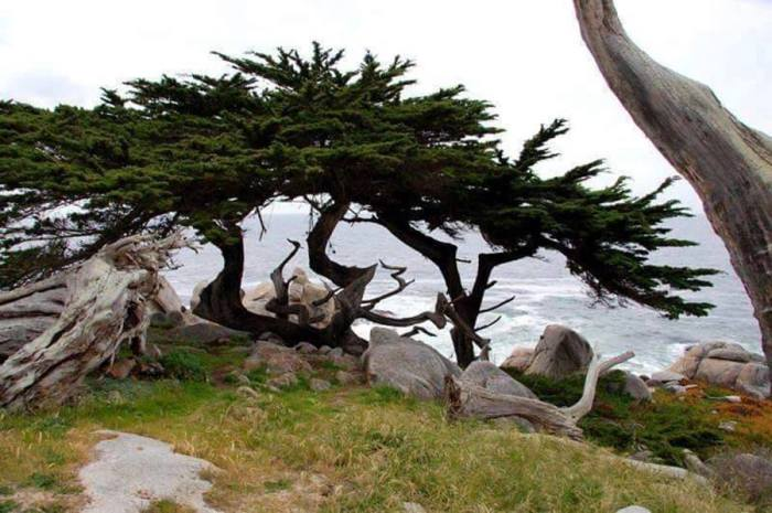 250-летнее выросшее на скале дерево является главной достопримечательностью 17-мильной дороги.