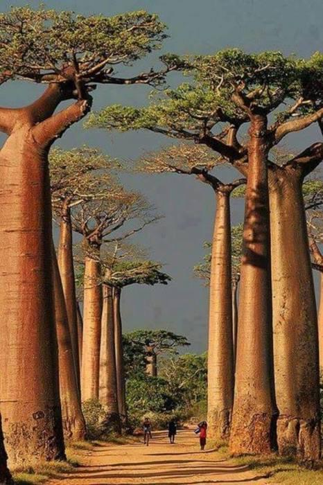 Единственное место в мире, где огромные колоннообразные деверья-великаны растут ровными рядами с двух сторон дороги.