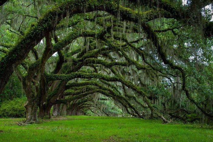 Гигантские древние дубы, образовавшие знаменитый «проспект» на плантации Дикси, были высажены в далеком прошлом – около 1790 года.