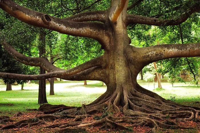 Древнее фиговое дерево в Королевском ботаническом саду «Перадения» со своими ползущими по земле корнями и вправду похоже на мифическое чудовище.