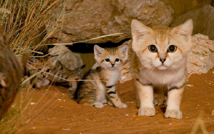 Кошка отличается самыми мелкими размерами среди диких кошек.