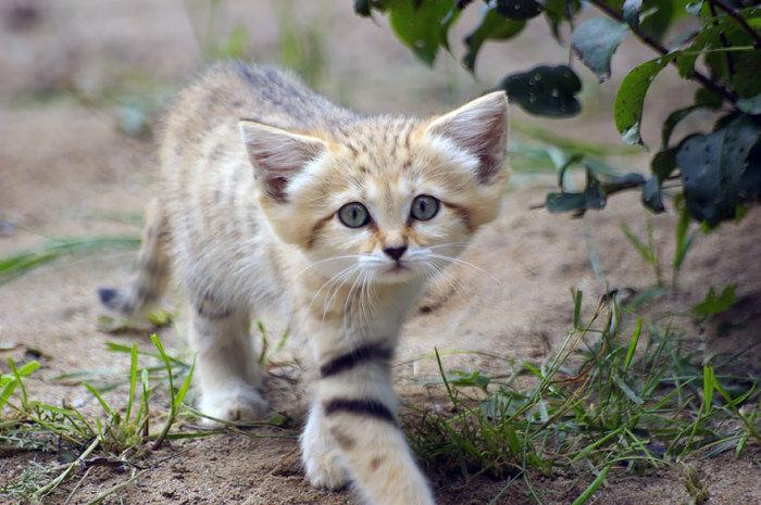 Самая маленькая по размерам дикая кошка имеет 24-30 см высоты в холке и 65-90 см длины тела, 40% которой приходится на хвост.