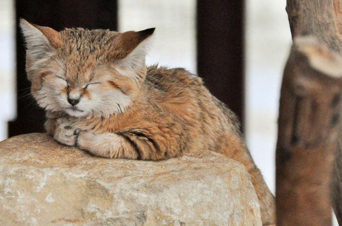 Живут барханные кошки уединенно, не образуя групп.