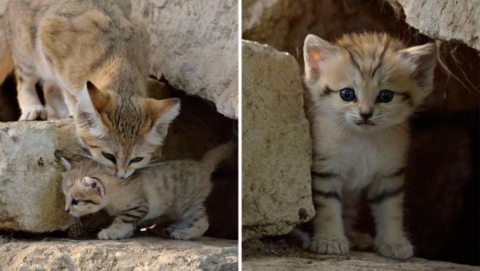 От дневного зноя песчаных кошек спасают старые норы лисиц, дикобразов, корсаков и расширенные норы песчанок и сусликов.