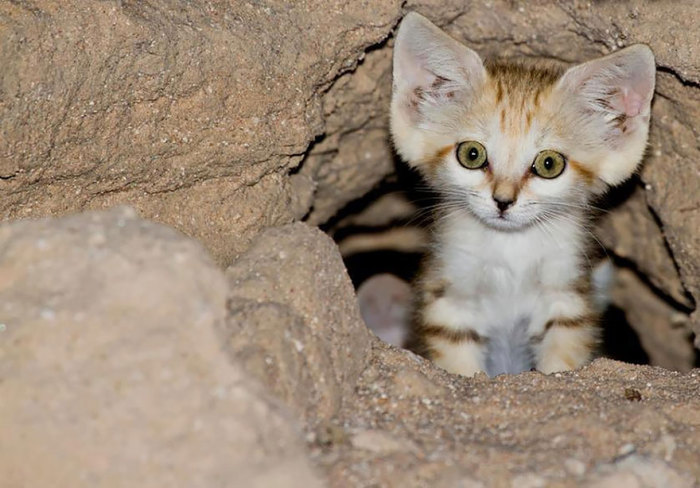 Низкое расположение ушей выполняет важную миссию – защищает от попадания песка, постоянно разносимого ветрами пустыни.
