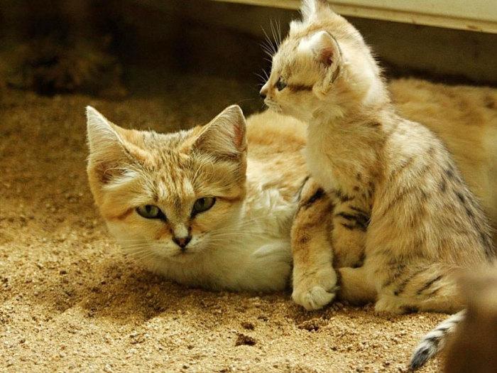 Эти кошки живут в суровых природных условиях.