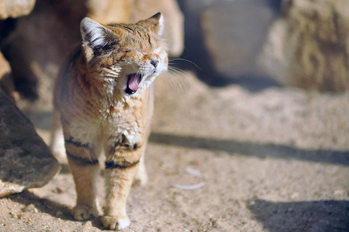 Барханные коты – мастера маскировки и незаметного перемещения.