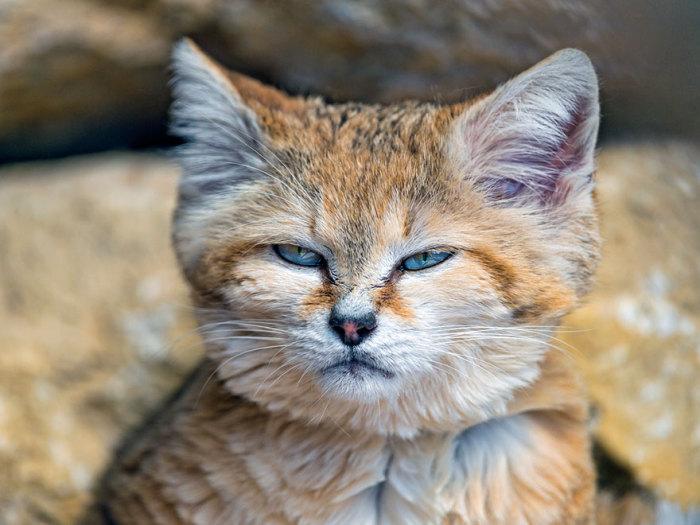 Коты, приверженцы ночного образа жизни, проявляющие наибольшую активность и охотясь в темное время суток.