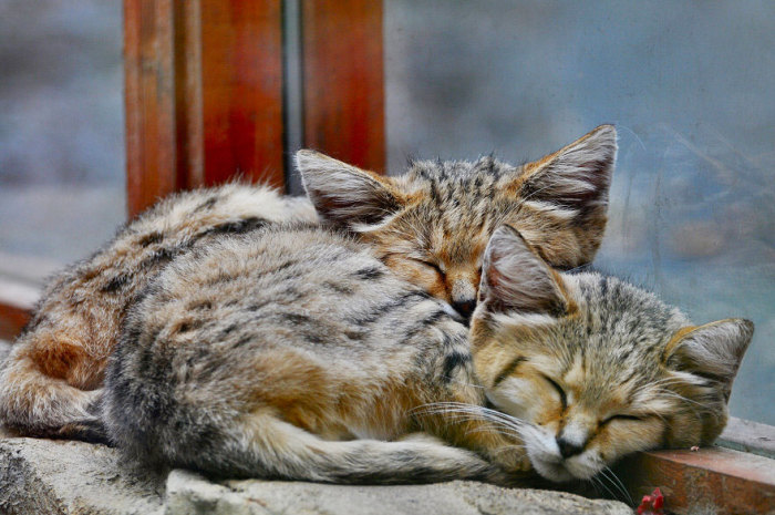 Котята барханной кошки.
