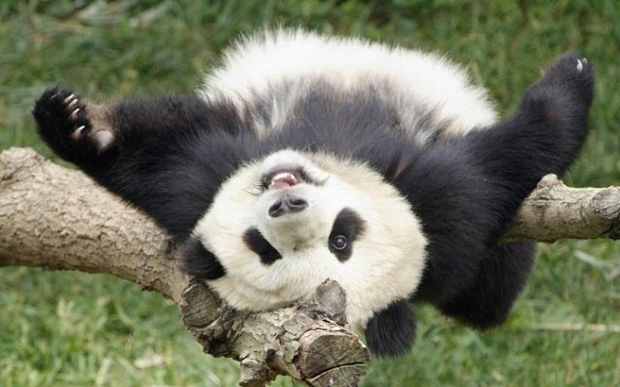 Довольная жизнью панда. | Фото: pinme.ru