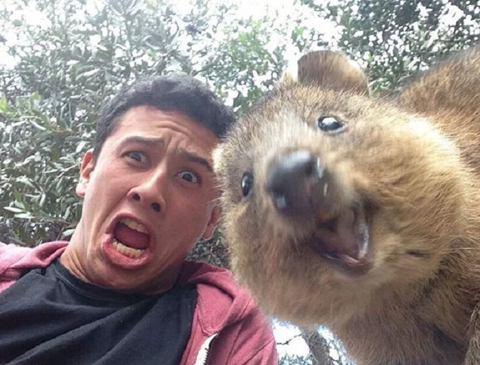 Короткохвостый кенгуру-квокка делает селфи на фоне перепуганного человека.