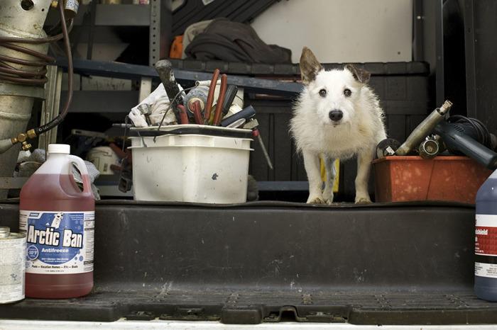 17-летний песик с удовольствием сопровождает хозяина, ремонтирующего дома на острове в летний сезон.