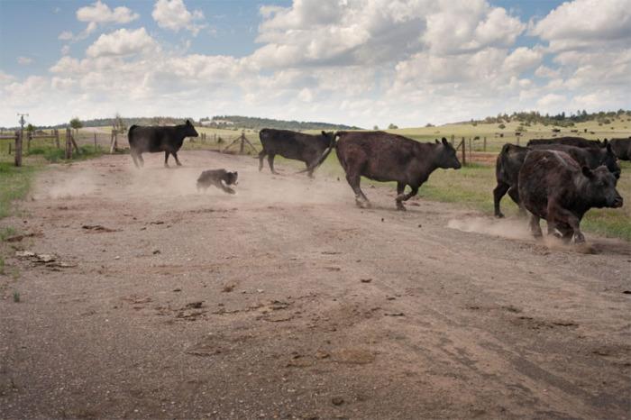 13-летниий пастух, несмотря на преклонный возраст, все также с упоением гоняется за коровами.