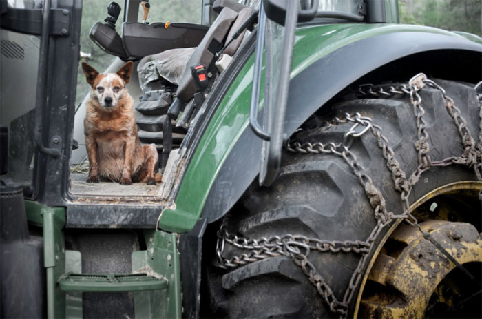 12-летняя собака не прочь прокатиться на тракторе вместе с хозяином.