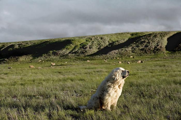 Опытный 9-летний пес с достоинством продолжает нести свою пастушью службу.