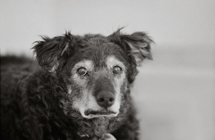 14-летний пес, спасенный благотворительной организацией «Лучшие друзья животных», ищет нового хозяина.