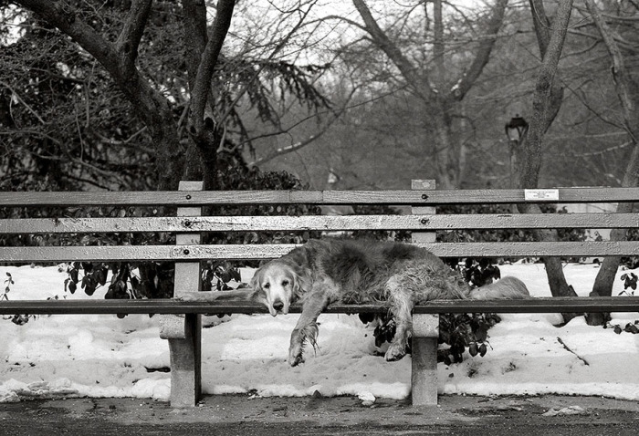 Уставшему 15-летнему ретриверу во время прогулки захотелось отдохнуть на скамейке.
