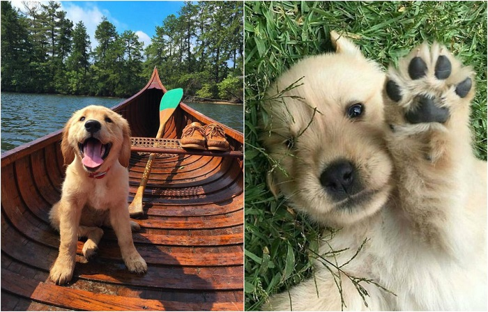 Милые и забавные фотографии щенков породы золотистый ретривер.
