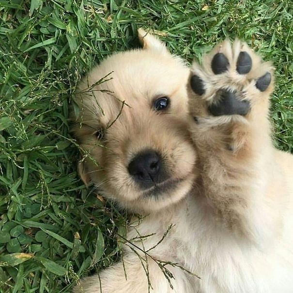 Photo from Instagram account golden_retriever.dog.
